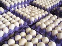 هشدار در مورد وضعیت تولید تخم مرغ