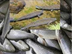 ایین نامه صدور مجوز تفریخ و تولید بچه ماهی قزل الای رنگین کمان
