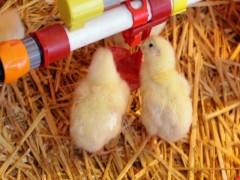 جوجه ۸۰۰۰ تومانی بازارگرمی است/ صفر تا صد تولید مرغ رصد می شود