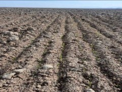 زرندیه . زمین کشاورزی با گاوداری