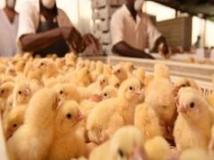 کرایه های سنگین حمل و نقل کمر مرغداران را شکسته/ جوجه یکروزه کم است
