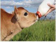 بهداشت گوساله های  تازه  متولد شده به چه شکلی می باشد