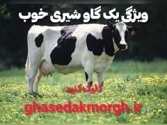 ویژگی های بک گاو شیری خوب