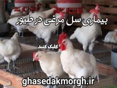 بیماری سل مرغی در طیور