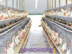 چهار راه برای بهبود تراکم استخوان مرغ های تخم گذار