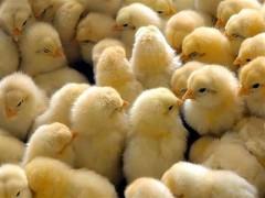 نیازی به واردات جوجه نداریم/ هشدار درباره التهاب مجدد قیمت مرغ در بازار