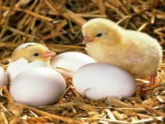 تنظیم اندازه تخم مرغ در هوای گرم