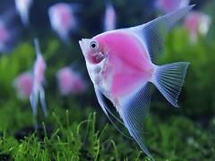 دستورالعمل های اجرایی و ضوابط فنی بهداشتی  پرورش ماهیان زینتی