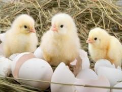 نیازی به واردات جوجه و تخم مرغ نطفه دار نیست