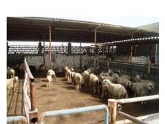 دامداري  گوسفند  مولد ۴۰۰ راسی