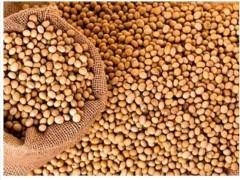 تاثیر افزودن پودرچربی پالم روغن سویا یا دانه کامل  سویای تف داده در جیره دوره انتقال بر عملکرد گاوهای شیری هلشتاین