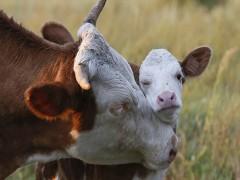 تکنيک انتقال جنين در گاو