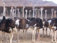 دستورالعمل های اجرایی  مراکز نگهداری و پرورش شتر مرغ
