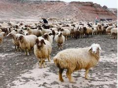 ضوابط  پرورش  گوسفند  و بز پر تولید