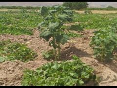 زمین کشاورزی  ۱۲۵۰۰ متری