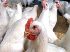 تاثیر مکمل فیتاز میکروبی در رژیم های غذایی جوجه های گوشتی