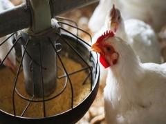 ترکیب گوشت، پروفایل اسیدهای چرب و پایداری اکسیداتیو گوشت جوجههای گوشتی حاوی فراوردههای فرعی انار