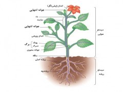 دانلود رایگان ترجمه مقاله رشد پیچه ای در اندام های گیاهی
