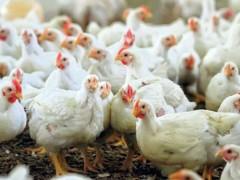 اصلیترین عامل گرانی دوباره مرغ، افزایش هزینههای تولید و نظام توزیع است/ تصمیمات اشتباه دولت، صنعت طیور را به آستانه نابودی کشاند