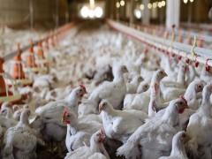 قیمت تولیدکننده محصولات مرغداری های صنعتی به ۸۰ درصد رسید