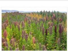 طرح تولید گیاه کینوا