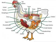 آناتومی دستگاه تولید مثل مرغ تخمگذار و نحوه تشکیل تخم مرغ