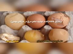 بیماری افت تولید تخم در مرغان بومی (EDS)