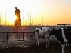 دستورالعمل های زمان بر عامل تاخیر در واردات یونجه از روسیه خرید شیر خشک از کارخانه های لبنی از 4 هزار و 500 تا 6 هزار و 400 تومان